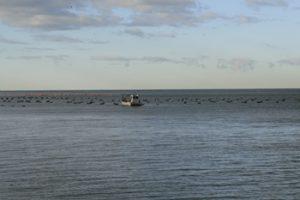 Allevamento di mitili nel Golfo di Trieste.